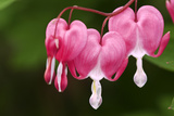 Bleeding Heart Flowers in Garden  Lively  Ontario  Canada