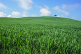 Lone Tree in Spring Wheat Field