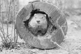 Groundhog in Hollow Log