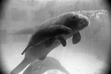 Manatee Mother and Newborn Swimming