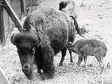 Newborn Buffalo with Mother