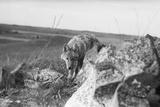Coyote on Prairie Lurking for Prey