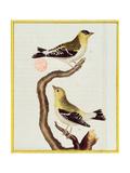 Pair of Siskins  from 'Histoire Naturelle Des Oiseaux'