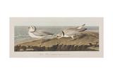 Illustration from 'Birds of America'  1827-38