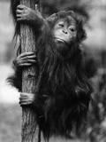 Orangutan Clinging to Tree