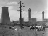 Cattle near Nuclear Power Plant