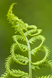 Cinnamon Fern's Fertile Spore-Bearing Fronds are Erect and Shorter