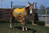 Portrait of Mule Mascot Charlie O