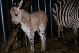 Gene Spliced Zebra and Donkey Specimen