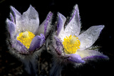 Prairie Crocus Blossoms (Anemone Patens) after a Spring Rain Shower  Alberta  Canada