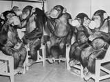 Chimpanzees Drinking Milk