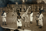 Giraffes and their Somali Handlers  C1905