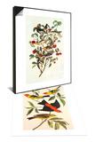 Audubon's Warbler & Louisiana Tanager  Scarlet Tanager Set
