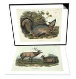 Canis (Vulpes) Virginianus (Grey Fox) & Cervus Canadensis (American Elk  Wapiti Deer) Set