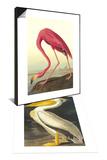 American Flamingo & American White Pelican Set