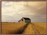 Old Barn in Maturing Spring Wheat Field  Tiger Hills  Manitoba  Canada