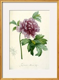 Hand Colored Engraving of a Peony  1812-1814