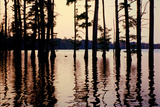 Cypress trees in the waters of Hovey Lake at sunset  Indiana  USA