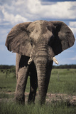 Namibia  Etosha NP  Elephant Young Male  African Bush Elephant