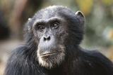 Tanzania  Gombe Stream National Park  Close-Up of Male Chimpanzee