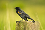 Red-Winged Blackbird Perched on Post  Ridgefield Nwr  Washington  Usa