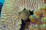 Goldentail Moray Eel in Coral Head Curacao  Netherlands Antilles