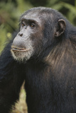 Tanzania  Gombe Stream National Park  Male Chimpanzee