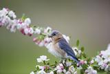 Eastern Bluebird Female in Crabapple Tree  Marion  Illinois  Usa