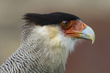 Portrait of Southern Crested Caracara Torres Del Paine NP Chile