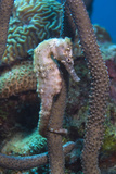 Longsnout Seahorse Wrapped around Gorgonian  Netherlands Antilles