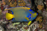 Queen Angelfish in Defensive Pose Curacao  Netherlands Antilles