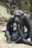 Tanzania  Gombe Stream NP  Mother Chimp and Her Child Sitting
