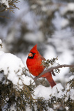 Northern Cardinal in Juniper Tree in Winter  Marion  Illinois  Usa