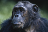 Tanzania  Gombe Stream National Park  Female Chimpanzee