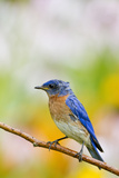 Eastern Bluebird Male in Flower Garden  Marion  Illinois  Usa