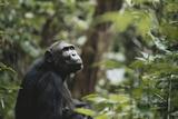 Tanzania  Gombe Stream National Park  Female Chimpanzee