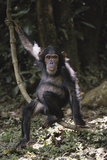 Tanzania  Chimpanzee Young Female at Gombe Stream National Park