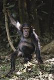 Tanzania  Chimpanzee Young Female at Gombe Stream National Park