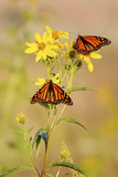 Monarch Butterflies  Prairie Ridge Sna  Marion  Illinois  Usa