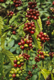 Robusta Coffee Cherries  Bingerville  Ivory Coast  West Africa
