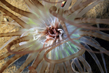 Banded Tube Dwelling Anemone Pierbaai  Curacao  Netherlands Antilles