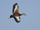 USA  Florida  Venice  Audubon Refuge  Black-Bellied Whistling-Duck