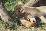 Kenya  Maasai Mara Game Reserve  Mother Lion Playing with Cubs