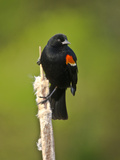 Red-Winged Blackbird  Ridgefield Nwr  Ridgefield  Washington  Usa