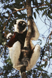 Madagascar  Coquerel's Sifaka