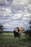 Namibia  Etosha NP  Elephant Young Male  African Bush Elephant