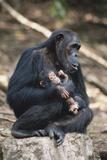 Tanzania  Gombe Stream National Park  Chimpanzees Sitting on Rock