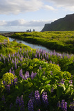 Iceland Vik I Myrdal Stream Running Through Field of Wildflowers
