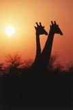 Zimbabwe  Maasai Giraffe Standing at Sunset