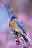 Eastern Bluebird Male in Eastern Redbud  Marion  Illinois  Usa